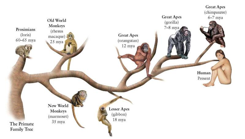 İlk primatlar da gece avlanıyordu. ile ilgili görsel sonucu