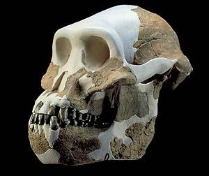 Lucy'nin kafatsı kemiklerinin tamamlanması ile çıkan tablo.jpg