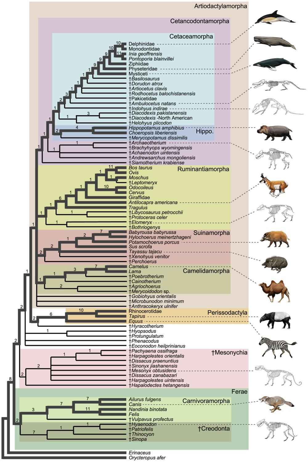 Genetik evrim şeması  Artiodactylamorpha içerisinde, Cetacea'ların yerlerini göstermektedir