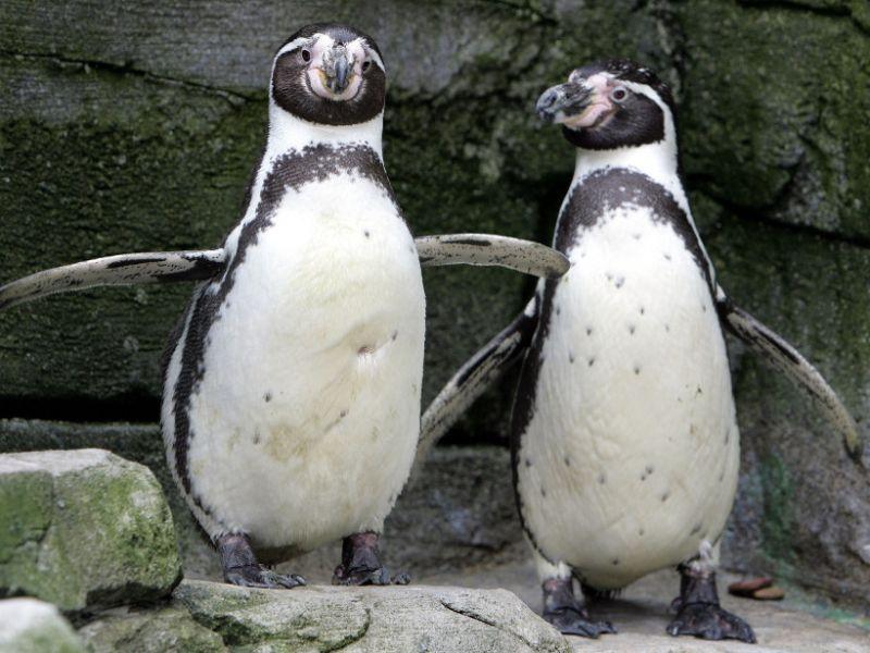 im-zoo-bremerhaven-maennlichen-pinguine-mangel-artgenossen-