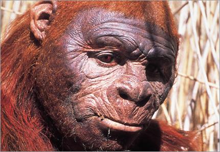 Yeni Bulunan İnsansı Fosili: Sahelanthropus tchadensis