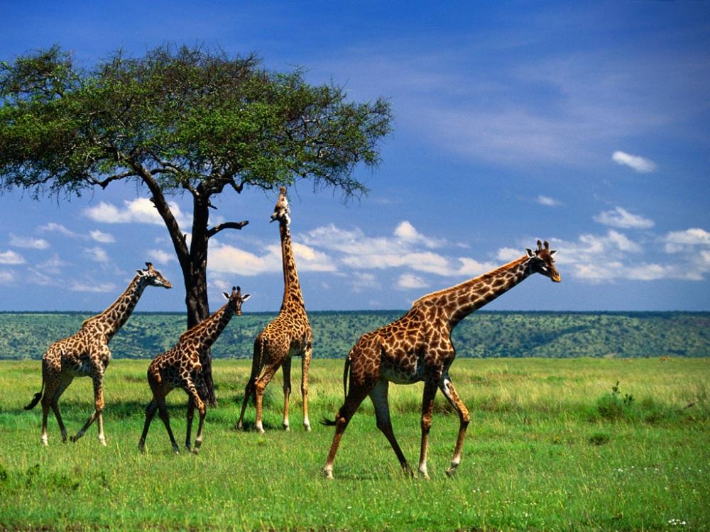Anadolu'nun Geç Miyosen Zürafaları (Mammalia Giraffidae)