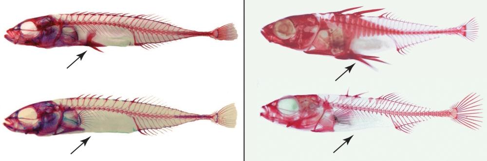 Diken Balıklarının Hızlı Evrimi