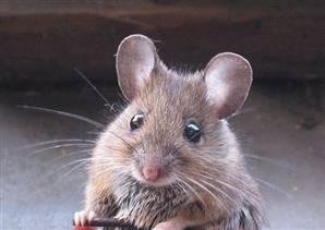 Zehirlere dayanıklı süper fare