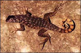 Leiocephalus carinatus sürüngenleri deneyde avcı tür olarak kullanıldı.