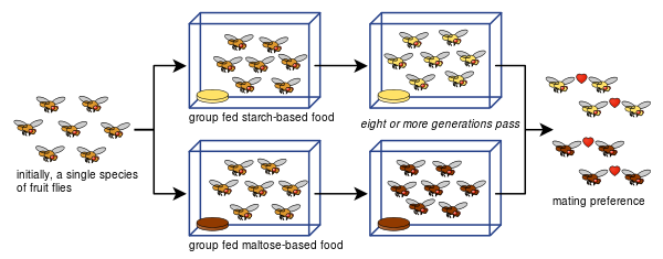 Drosophila_speciation_experiment.svg